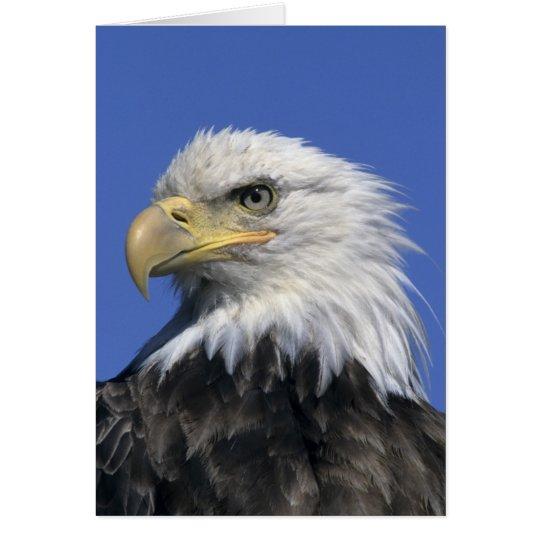 Bald Eagle, (Haliaeetus leucocephalus), wild, Card