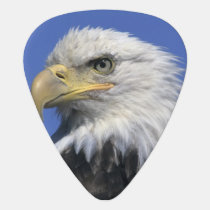 Bald Eagle, (Haliaeetus leucocephalus), wild, Guitar Pick
