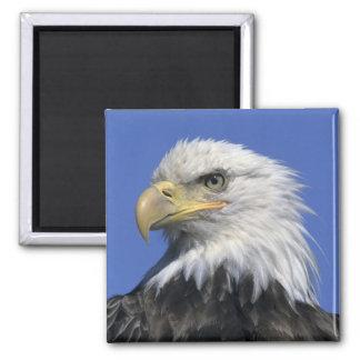 Bald Eagle, (Haliaeetus leucocephalus), wild, Magnet