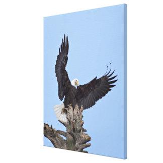 Bald Eagle (Haliaeetus leucocephalus) with wings Canvas Print
