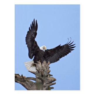 Bald Eagle (Haliaeetus leucocephalus) with wings Postcard