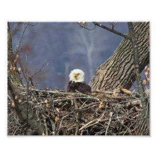 Bald Eagle having a bad hair day Photo Print