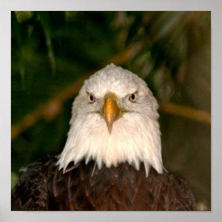 Bald Eagle Head On photograph design Print