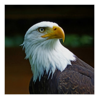 Bald Eagle Head Poster