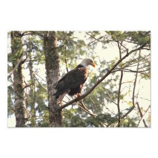 Bald Eagle in a Tree Photo Print