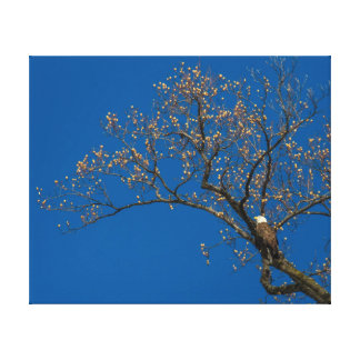 Bald Eagle In A Tulip Tree Canvas Print