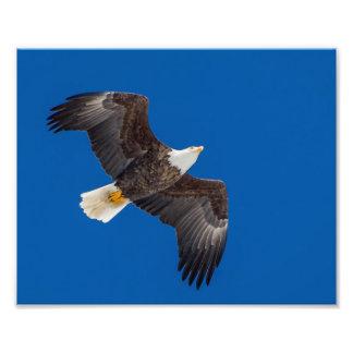 Bald Eagle In Blue Sky Photo Print