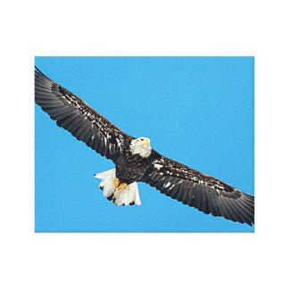 Bald Eagle in flight Canvas Print