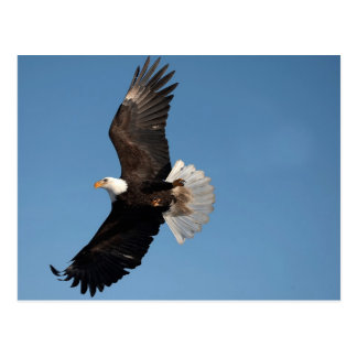 Bald Eagle in Flight, Haliaeetus leucocephalus, 2 Postcard