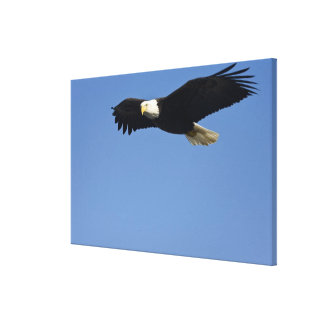 Bald Eagle in Flight, Haliaeetus leucocephalus, 3 Canvas Print