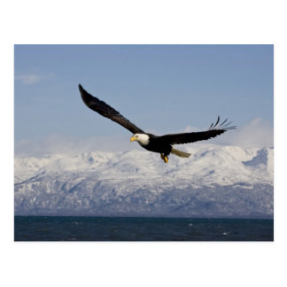 Bald Eagle in Flight, Haliaeetus leucocephalus, 3 Postcard