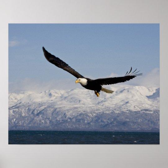 Bald Eagle in Flight, Haliaeetus leucocephalus, 3 Poster