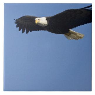 Bald Eagle in Flight, Haliaeetus leucocephalus, 4 Ceramic Tile