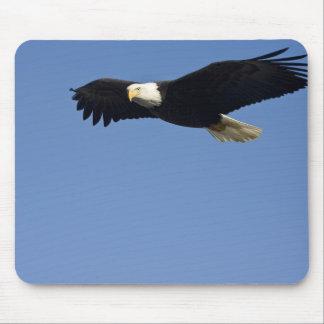 Bald Eagle in Flight, Haliaeetus leucocephalus, 4 Mouse Pad