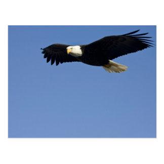 Bald Eagle in Flight, Haliaeetus leucocephalus, 4 Postcard