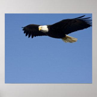 Bald Eagle in Flight, Haliaeetus leucocephalus, 4 Poster