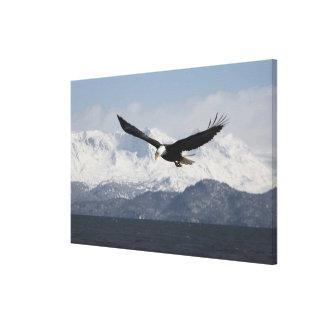 Bald Eagle in Flight, Haliaeetus leucocephalus, Canvas Print