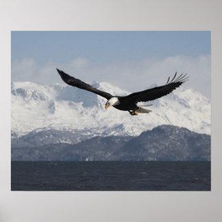 Bald Eagle in Flight, Haliaeetus leucocephalus, Poster