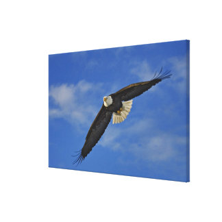 Bald Eagle in flight, Haliaetus leucocephalus, Canvas Print
