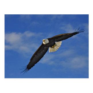 Bald Eagle in flight, Haliaetus leucocephalus, Postcard