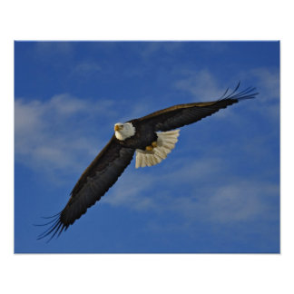 Bald Eagle in flight, Haliaetus leucocephalus, Poster