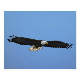 Bald Eagle in flight, Homer, Alaska, Haliaetus Poster