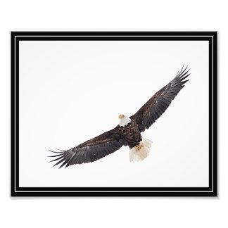 Bald Eagle in flight Photo Print