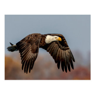 Bald Eagle in flight Postcard