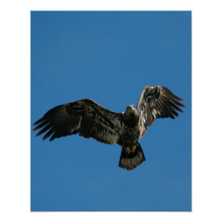 """Bald Eagle in Flight"" Poster"
