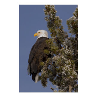 Bald Eagle in Pine Yellowstone National Park Poster