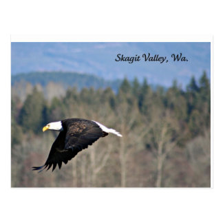 Bald Eagle in SkagitValley,Wa. Postcard