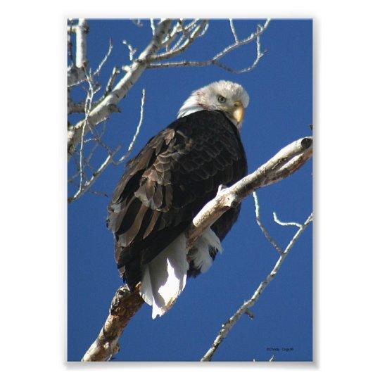 Bald Eagle in Tree Photo Print