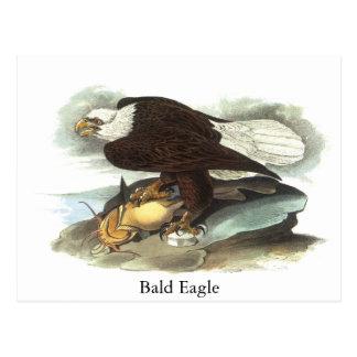Bald Eagle, John Audubon Postcard