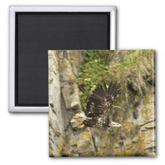 Bald Eagle, juvenile, Castle Rock, Shumagin Island Magnets