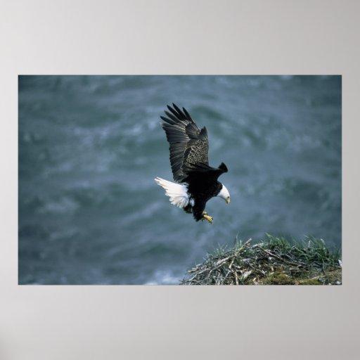 Bald Eagle Landing on Nest Poster