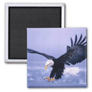 Bald Eagle Landing Wings Spread in a Storm, 2 Inch Square Magnet