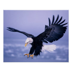 Bald Eagle Landing Wings Spread in a Storm, Posters