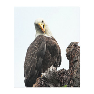 Bald Eagle Looking At You Stretched Canvas Prints