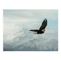 Bald eagle & mountains postcard