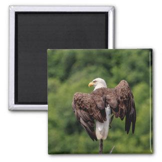 Bald Eagle on a branch Magnet