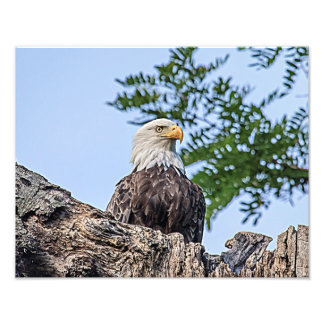 Bald Eagle on a tree branch Photo Print