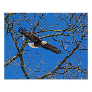 Bald Eagle On Blue Poster