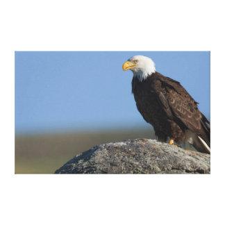 Bald Eagle on Boulder Canvas Print