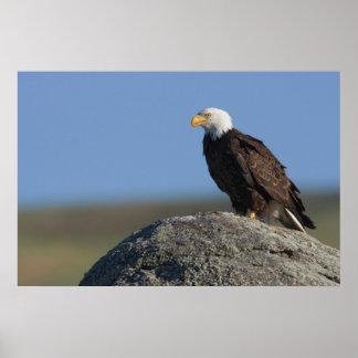Bald Eagle on Boulder Poster