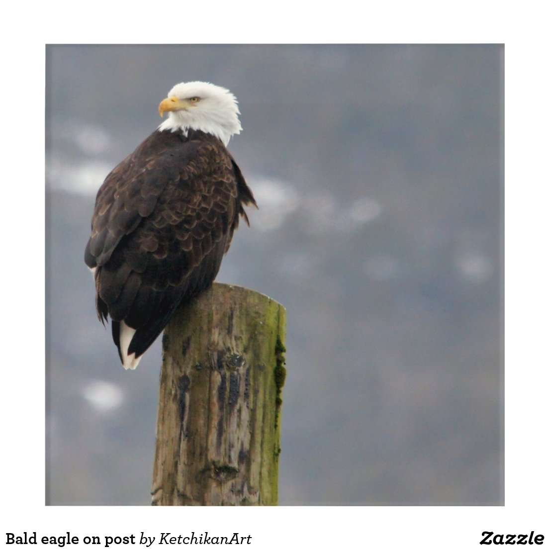 Bald eagle on post acrylic print