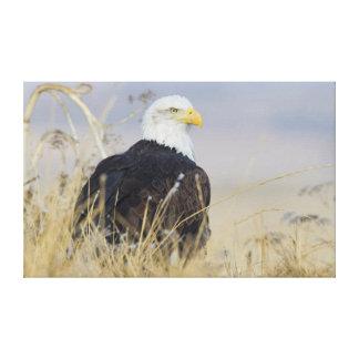 Bald Eagle on the ground Canvas Print