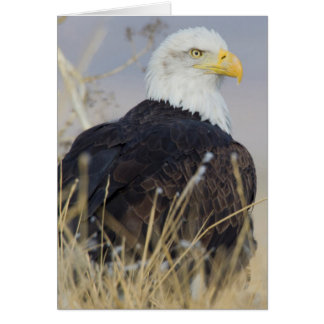 Bald Eagle on the ground Greeting Card