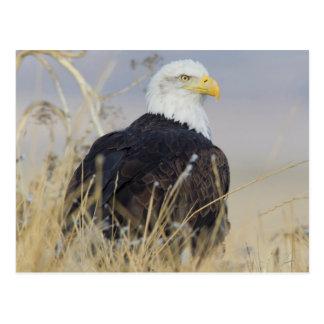 Bald Eagle on the ground Postcard