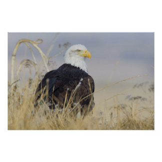 Bald Eagle on the ground Poster