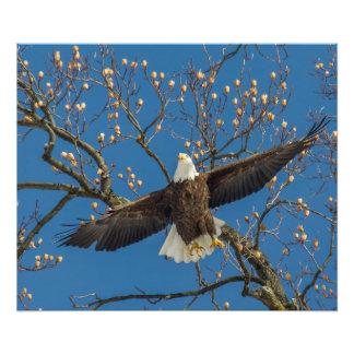Bald Eagle Overhead Photo Print